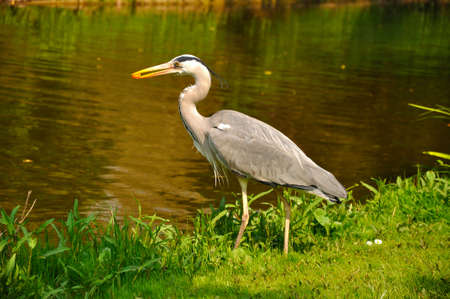 Great blue heron standing and eating in the park near the lake on a sunny day, Amsterdam, Holland 免版税图像