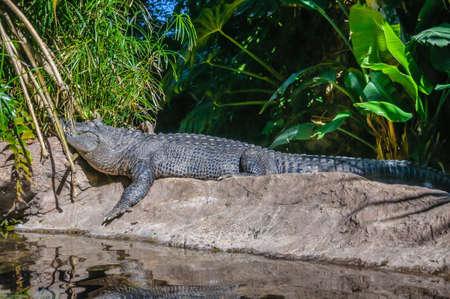 American alligator in Loro Parque, Tenerife, Canary Islands