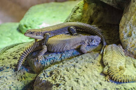 Plated lizzard in Loro Parque, Tenerife, Canary Islands