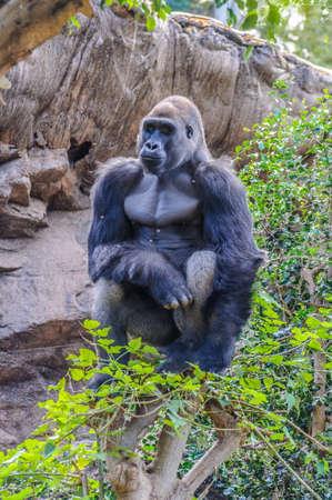 Portrait of a western lowland gorilla in Loro Parque, Tenerife, Canary Islands.
