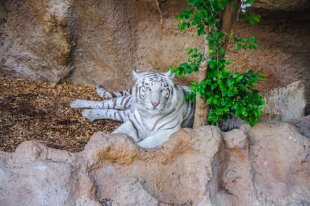 Bengal white tiger in Loro Parque, Tenerife, Canary Islands Stok Fotoğraf