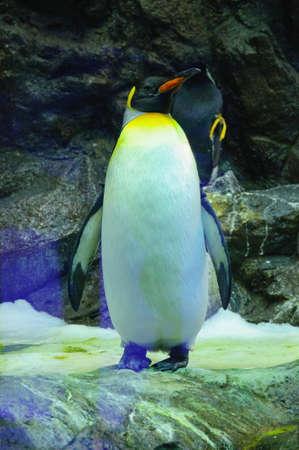 Big King penguin in Loro Parque, Tenerife, Canary Islands Stok Fotoğraf