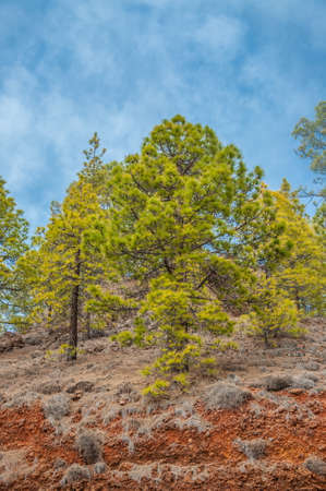 Canarian pines, pinus canariensis in the Corona Forestal Nature Park, Tenerife, Canary Islands