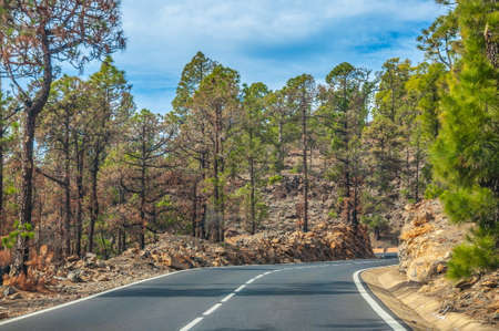 Road along the canarian pines in the Corona Forestal Nature Park, Tenerife, Canary Islands. Stok Fotoğraf