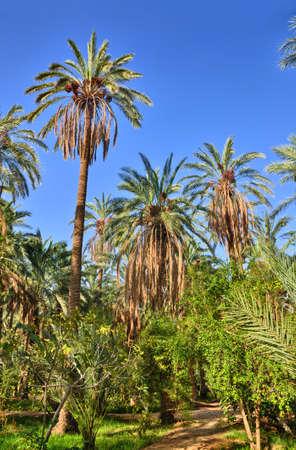 Date Palms in jungles in Tamerza oasis, Sahara Desert, Tunisia, Africa, HDR