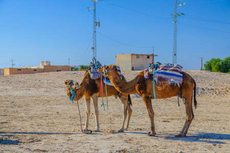 Dromedary Camels standing in sahara desert in Tunisia, Africa. Stok Fotoğraf