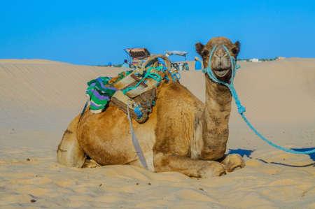 Dromedary Camel in sahara desert in Tunisia, Africa