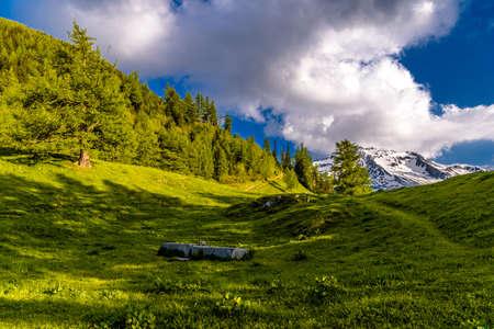Pine trees in fields in Alp mountains, Martigny-Combe, Martigny, Wallis, Valais, Switzerland Standard-Bild - 133544768