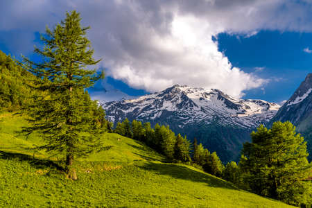 Pine trees in fields in Alp mountains, Martigny-Combe, Martigny, Wallis, Valais, Switzerland Standard-Bild - 133544769