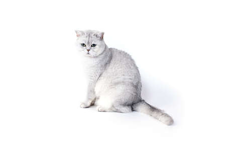 British Lorthair smoky cat isolated on white is sitting and watching. 免版税图像