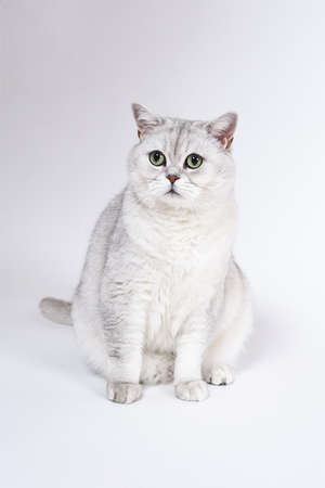 British Lorthair smoky cat isolated on white is sitting and watching. 版權商用圖片