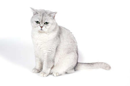 British Lorthair smoky cat isolated on white is upset and thinking and looking down.