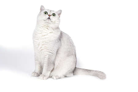 British Lorthair smoky cat isolated on white is waiting.