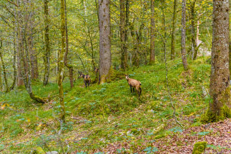 Chamoises in the forest near Koenigssee, Konigsee, Berchtesgaden National Park, Bavaria, Germany