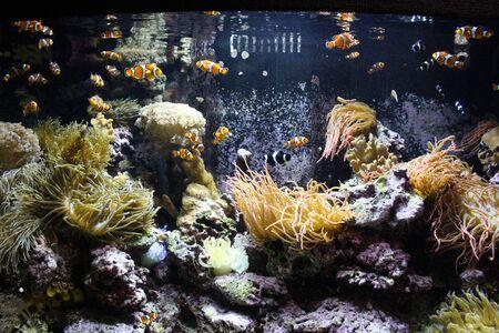 clown fish: Clown fish