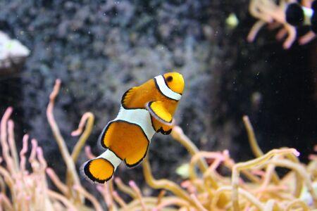 clown fish: Orange & White Clown Fish