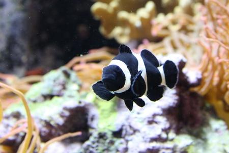 clown fish: Black & White Clown Fish