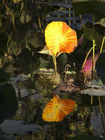 Amber Water Lily reflects in quiet, dark pond