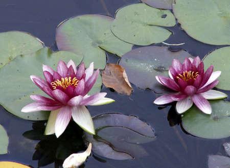 Purple Pond Lilies sit on green pads Standard-Bild
