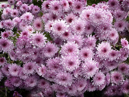 Purple toned bunch of daisies in garden patch.