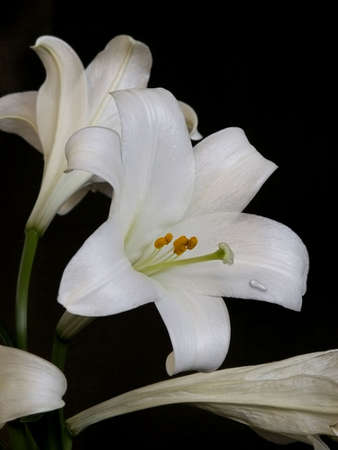 Water droplet on white lily leaf as white flowers are captured against dramatic black background. Standard-Bild