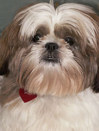 Friendly round face of Shih Tzu dog with red heart.