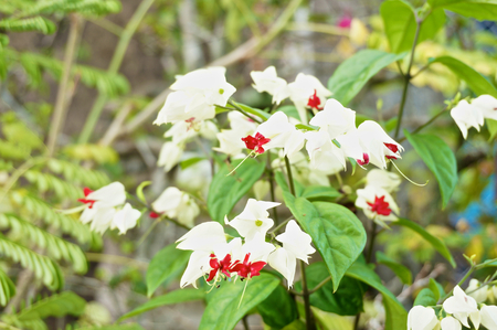 Clerodendrum thomsoniae is small white and red flower in Thailand. photo