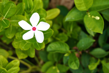 Vinca Is White Flower With Pink On Center And Green Leaves. Stock ...