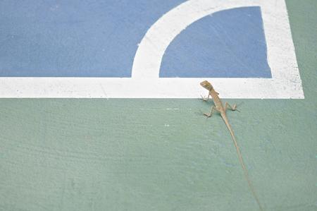 lizard in field: Rastreo Lagarto y parada en la esquina del campo de fútbol. Foto de archivo