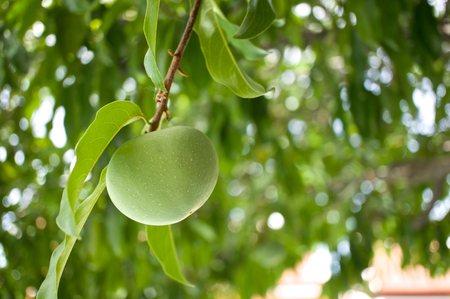 diospyros: Diospyros decandra Lour or Gold apple with bokeh of light as background. Stock Photo
