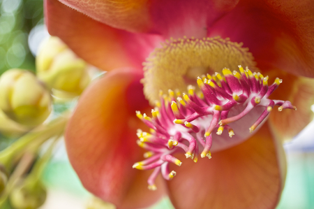 spheric: Close up pollen of Couroupita guianensis or cannonball flower with blur background. Stock Photo