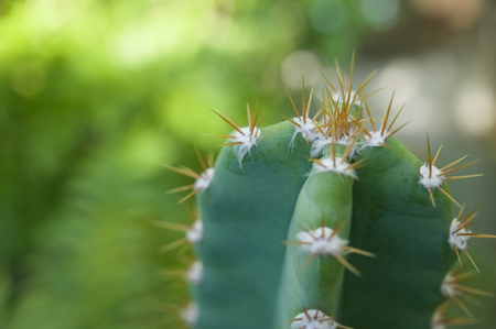 castles needle: Close up cactus fairy castle with spines have bokeh on green background.
