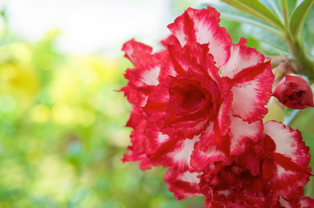 Beautiful hybrid Adenium Obesum or Desert rose have red and white layers flower with bokeh green background.