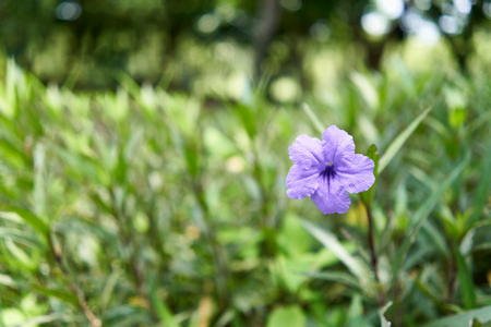 Ruellia tuberosa or Toi ting flower have violet color and green leaf tapering with copy space. Imagens