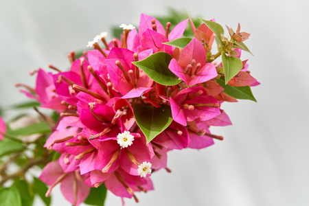 Bouquet of red bougainvillea blooming flower with green leaves with white wall.