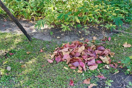 Pile colorful dry leaves on grass have plant in garden as background. Cleaning works concept.