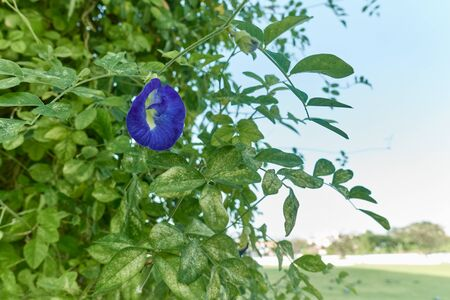 Asian Pigeonwings or Clitoria ternatea is a violet flower with green leafs have sky and park as background and copy space. Food with vegetarian and healthy concepts photography.