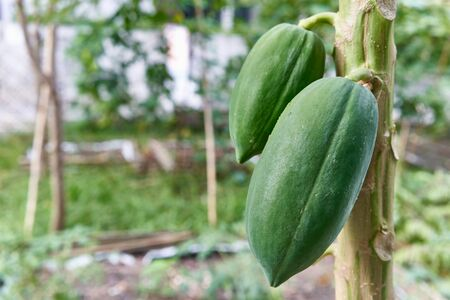 Close up green papaya fruit on tree have blur and bokeh of garden as background with copy space.