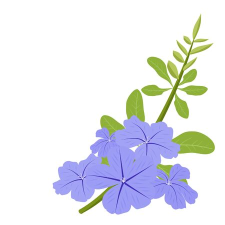 Plumbago auriculata, cape leadwort or white plumbago beautiful light blue flowers are blooming with green flower bud and leaves on white background vector illustration and copy space.