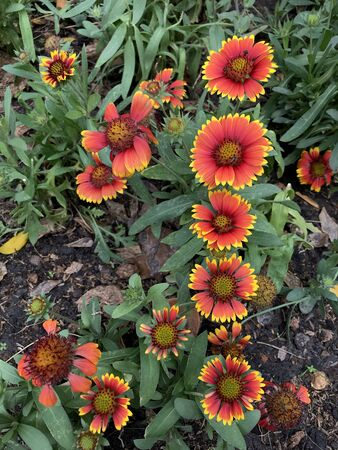 Gaillardia pulchella, firewheel, Indian blanket or sundance is a North American species of short-lived perennial or annual flowering plants in the sunflower.