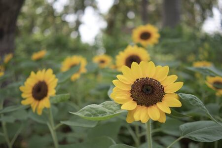 Sunflower or helianthus annuus is annual plant in family asteracea. Big yellow flowers and green leaves in garden.