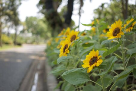 Helianthus annuus or sunflower is annual plant in family asteracea. Big yellow flowers and green leaves in garden with blur roadside and bokeh as background.