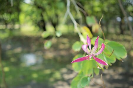 Bauhinia purpurea or orchidtree is a species of flowering plant in the family Fabaceae. Pink and white flower and green leaves with blur garden and bokeh as background with copy space.