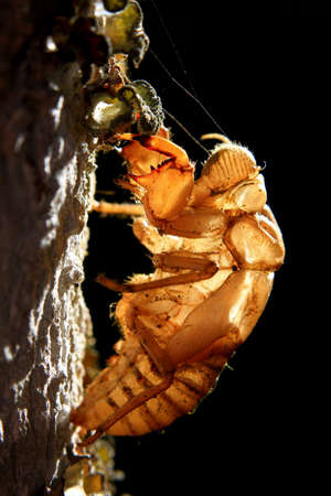 Cicada on wooden tree photo