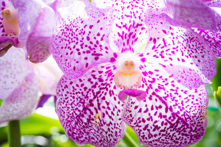An orchid flower photographed in Chiang Mai, Thailand where they are grown in large quantities and shipped all over the world Stock Photo