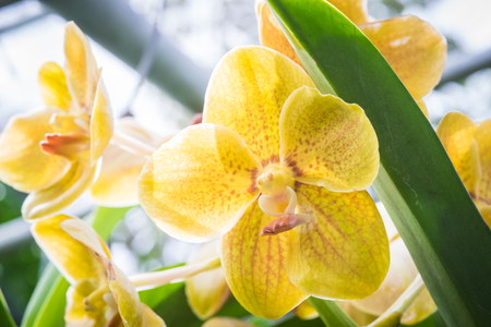 quantities: An orchid flower photographed in Chiang Mai, Thailand where they are grown in large quantities and shipped all over the world Stock Photo