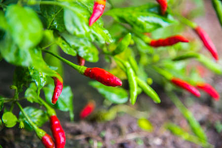 Close-up view of fresh ripe red chili peppers on tree at an organic chili farm. Agricultural composition. Harvest concept. Great for organic food publication. Stock Photo