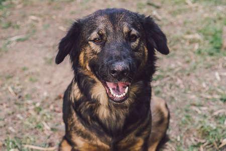 Close-up photo Thai dog. Stock Photo