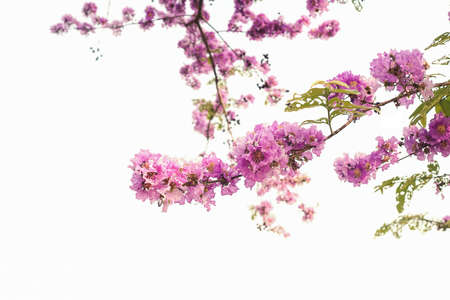 Lagerstroemia floribunda or also known as Thai crape myrtle and kedah bungor on white background Stock Photo