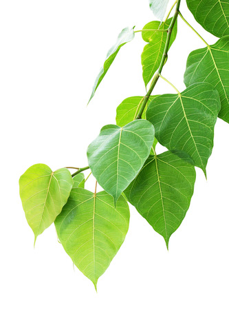 pho or bodhi leaf on white background photo